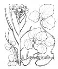 Nom original: Cardamine trifolia (n°238)