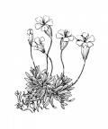 Nom original: Silene acaulis (n°434)