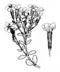 Nom original: Saponaria ocymoides (n°474)