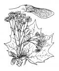 Nom original: Acer platanoides (n°690)