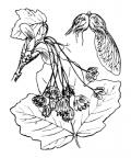 Nom original: Acer opulifolium (n°692)