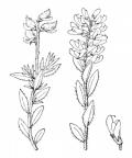 Nom original: Genista germanica (n°761)