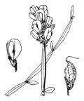 Nom original: Genista sagittalis (n°766)
