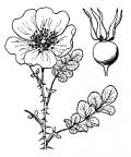 Nom original: Rosa pimpinellifolia (n°1213)