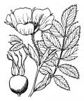 Nom original: Rosa alpina (n°1214)