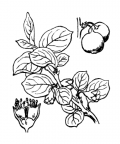 Nom original: Cotoneaster vulgaris (n°1257)