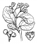 Nom original: Cotoneaster tomentosus (n°1258)
