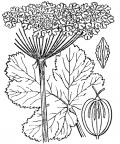 Nom original: Heracleum alpinum (n°1527)