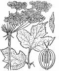 Nom original: Heracleum montanum (n°1529)