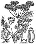 Nom original: Silaus pratensis (n°1540)