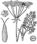 Nom original: Athamanta cretensis (n°1545)