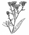 Nom original: Aster x salignus (n°1807)