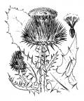 Nom original: Onopordum acanthium (n°2000)