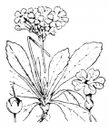 Nom original: Primula auricula (n°2408)