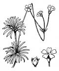 Nom original: Androsace lactea (n°2430)