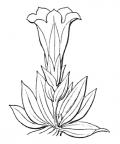 Nom original: Gentiana clusii (n°2511)
