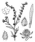 Nom original: Echinospermum lappula (n°2603)