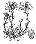 Nom original: Erinus alpinus (n°2710)