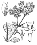 Nom original: Origanum vulgare (n°2848)