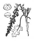 Nom original: Chenopodium botrys (n°3088)