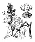 Nom original: Chenopodium hybridum (n°3095)
