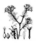 Nom original: Daphne cneorum (n°3166)