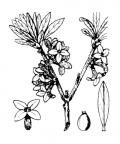 Nom original: Daphne mezereum (n°3171)