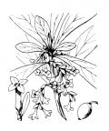 Nom original: Daphne laureola (n°3172)
