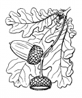 Nom original: Quercus pedunculata (n°3278)