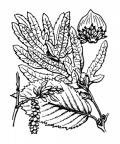 Nom original: Carpinus betulus (n°3280)