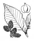 Nom original: Alnus incana (n°3321)