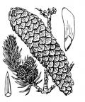 Nom original: Abies excelsa (n°3335)