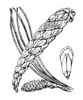 Nom original: Pinus strobus (n°3336)