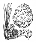 Nom original: Pinus cembra (n°3337)