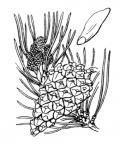 Nom original: Pinus sylvestris (n°3339)