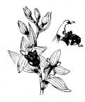Nom original: Ophrys apifera (n°3575)