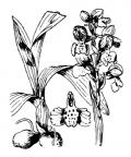 Nom original: Orchis morio (n°3596)
