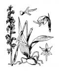 Nom original: Herminium monorchis (n°3618)
