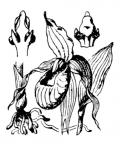 Nom original: Cypripedilum calceolus (n°3637)