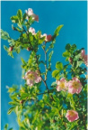 Rosa pendulina, Rosier des Alpes