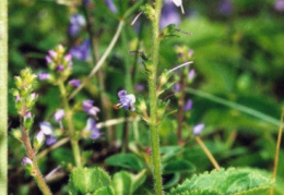 Veronica officinalis, Véronique officinale