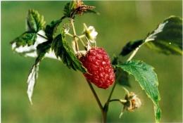 Rubus idaeus, Framboisier