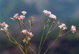 Asperula cynanchica, Aspérule des collines