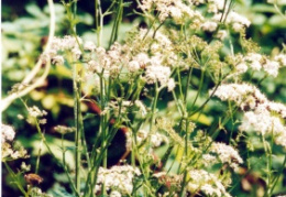 Pimpinella major, Grand boucage