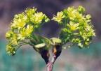 Acer platanoides, Érable plane