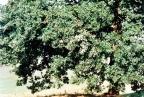 Quercus robur, Chêne pédonculé