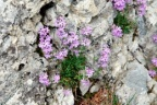 Erinus alpinus, Erine des Alpes