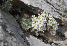 Saxifraga diapensioides
