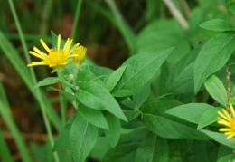 Inula helvetica