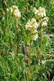 Pedicularis tuberosus